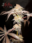 3-thirteen-seeds-greases-pieces-OGKB-pheno-3.png