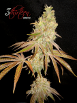 3-thirteen-seeds-greases-pieces-GG4-Pheno-4.png