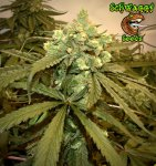 Schwaggy's Afghan Skunk F3 - 1(Main Pic).jpeg