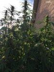 29-OldG-Esosseeds Twinkle Tart - 2weeks from harvest L.jpg