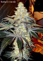 Bubby's n da lab - %22Ricky%22 ( useful seeds) via Amos Otis.jpg