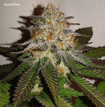 HydroRed - %22Mimosa%22 Symbiotics Genetics.png