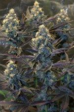 purple-mac-1200-001.jpg