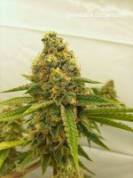 Gweedo's Growroom - Purple Betty (esosseeds).jpg