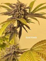 Kold Kasiz - Blueberries and Chocolate (Useful) 9wks.jpg