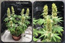 TreeFarmerCharlie - Charlotte's Box Bukkake.jpg