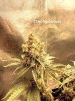Chief Doudlehead.jpg